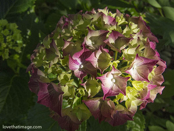 Glowing Embers hydrangea begins to show color in late afternoon light