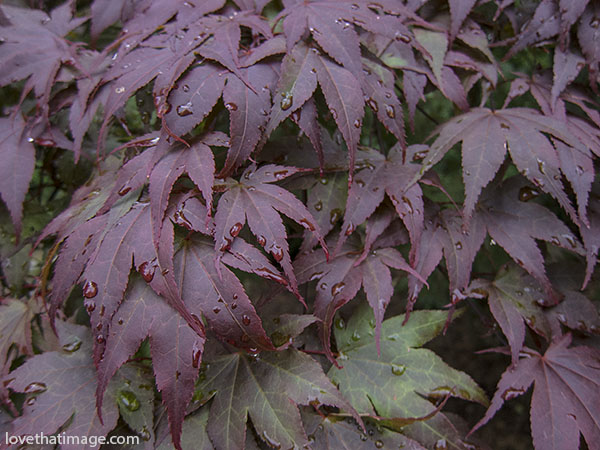 Dark red Japanese maple leaves with raindrops after a rain
