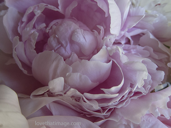 Pink peony opening in a bouquet
