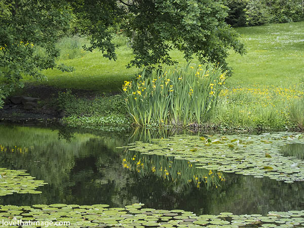 Yellow flowers reflected in a pond at the Arboretum in Seattle, WA, color image