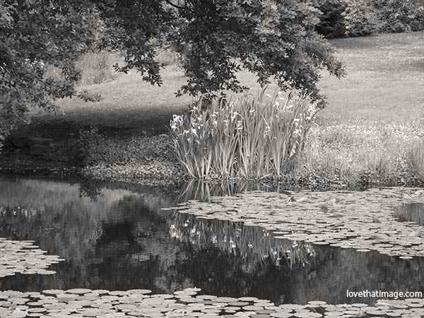 Yellow flowers reflected in a pond at the Arboretum in Seattle, WA, sepia image