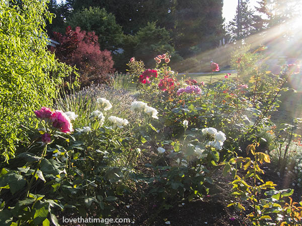 Rose garden with curly willow and dark red smoke tree in the background