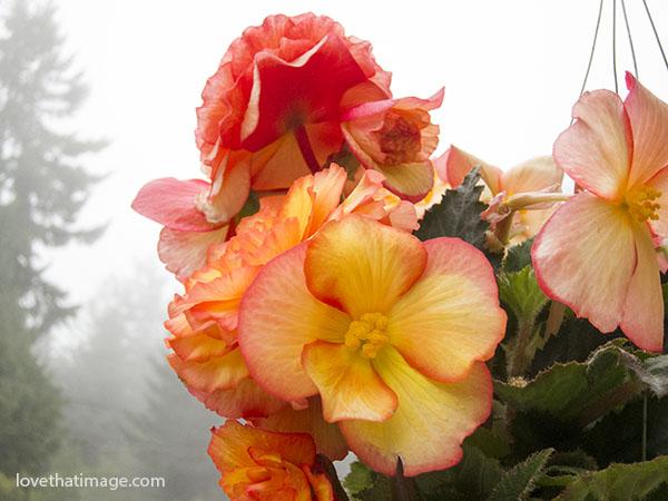 begonias-fog-4846