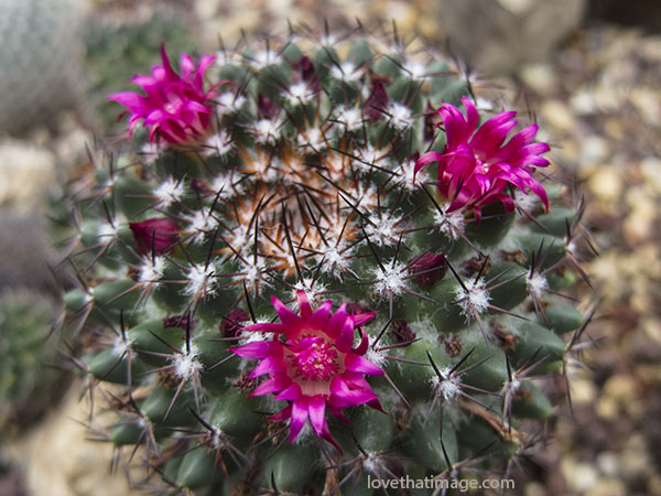 Magenta pink flowers on a barrel cactus