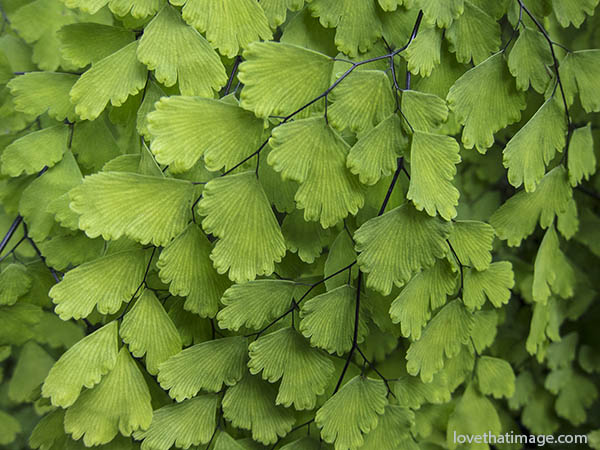 Macro of maidenhair fern at the Volunteer Park Conservatory in Seattle, WA