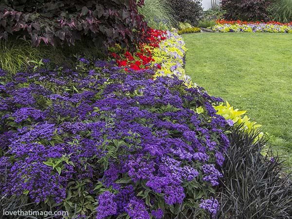 Flowerbeds outside of Seattle's Volunteer Park Conservatory with purple heliotrope