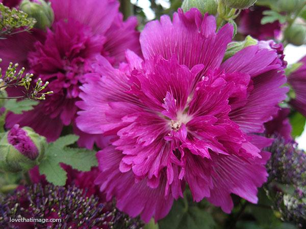 Deep magenta hollyhock with ruffled, very double petals