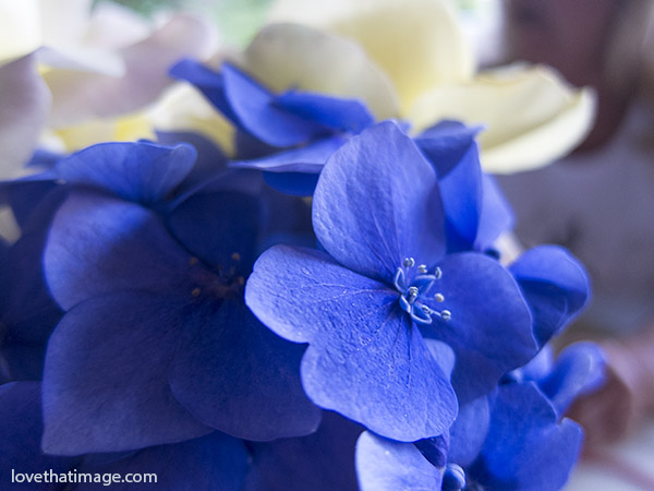 Deep blue hydrangea flower up close in a bouquet