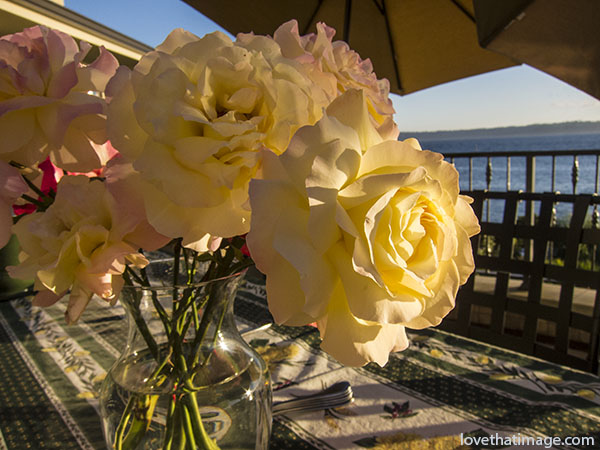 Yellow Peace roses on a terrace by Puget Sound near Seattle