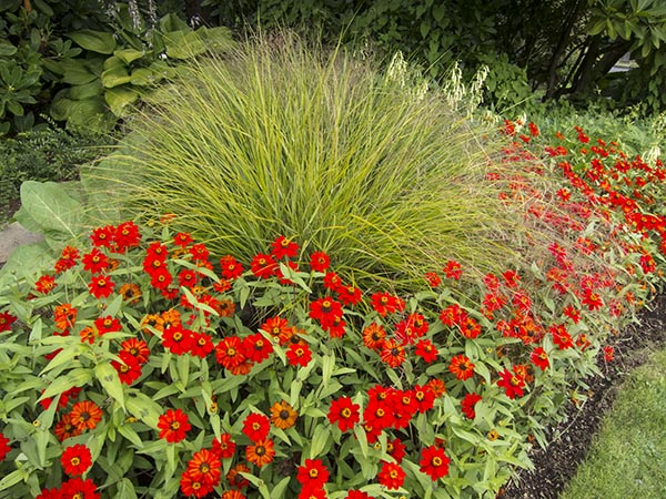 Brilliant red zinnias in an outdoor planting bed in Seattle's Volunteer Park