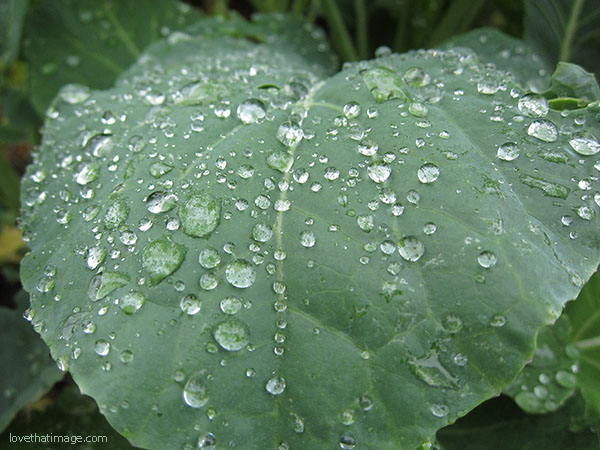 Raindrops on collard greens in the garden