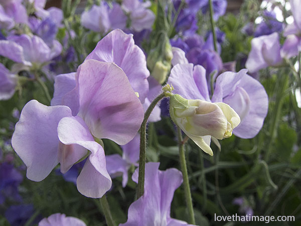 Lavender sweetpeas bloom on Labor Day at Cannon Beach, Oregon