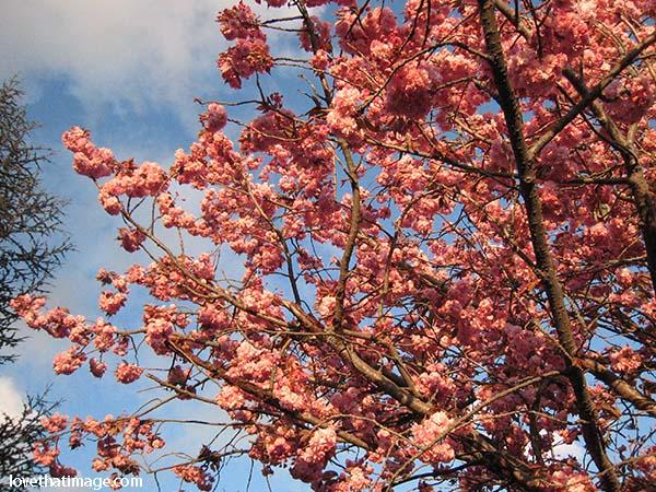 cherry-tree-2516
