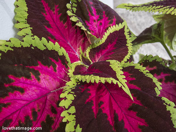 Colorful coleus plant leaves of red and burgundy, with frilly green edges