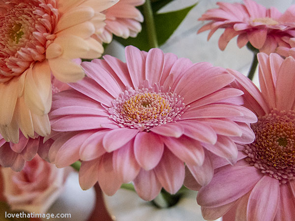 Pink gerbera daisies at a Seattle florist shop