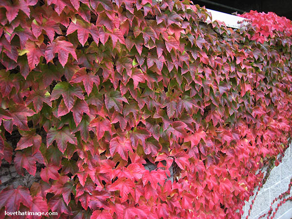 English ivy decorates a wall with fall color