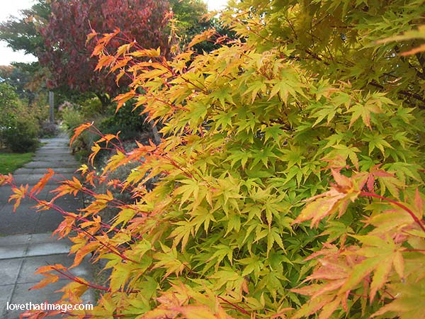 Autumn turns a green leaf Japanese maple to red, yellow, and orange
