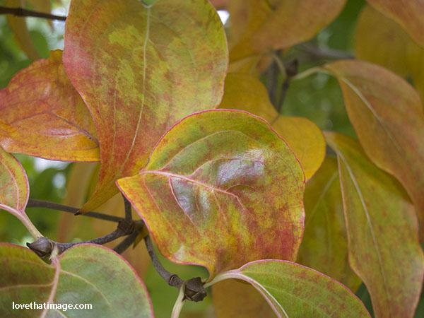 Korean dogwood leaves begin to turn color