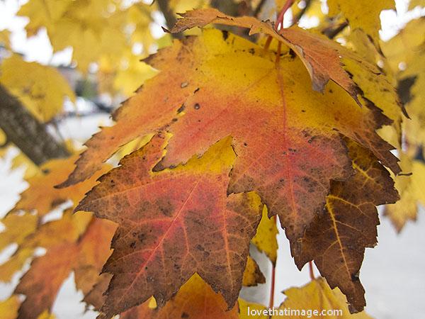 maple-leaves-0172