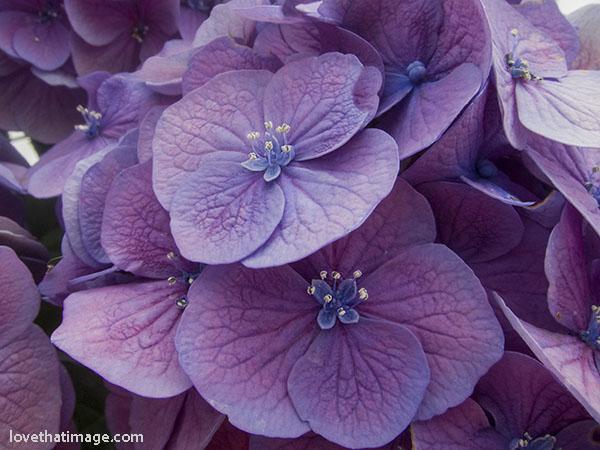 Pink and purple hydrangea macro