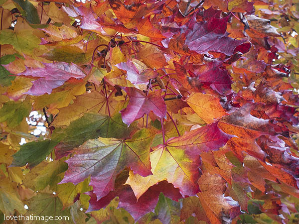 Autumn hued maple leaves in candy colors