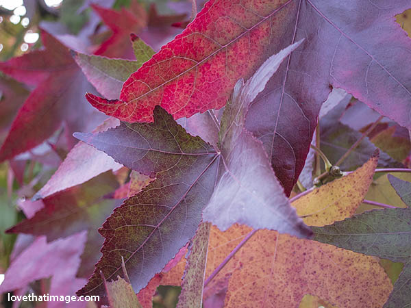 Jewel colors of autumn leaves not yet fallen