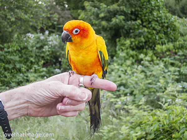 Beautiful little yellow and red seed-eating bird perches on a friend's finger