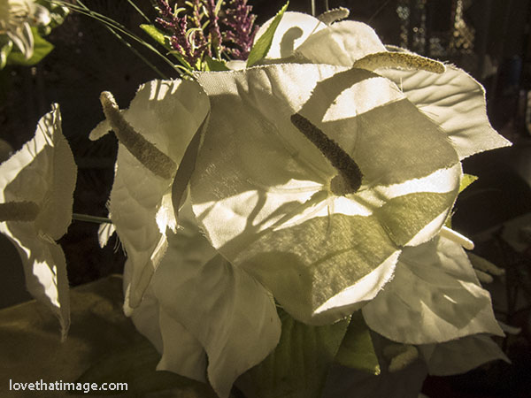 Fake white anthurium flowers in late afternoon winter light