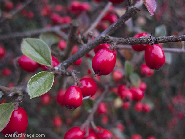 How To Plant Barberry Bushes