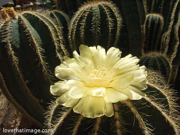 Delicate yellow petals of the cactus flower contrast with its massive spiny posts