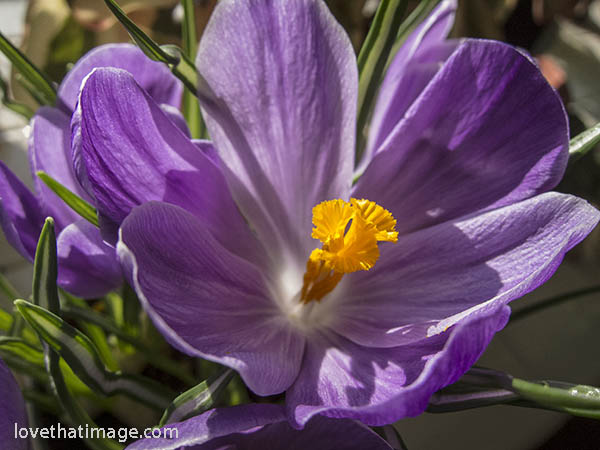 crocus-purple-1023