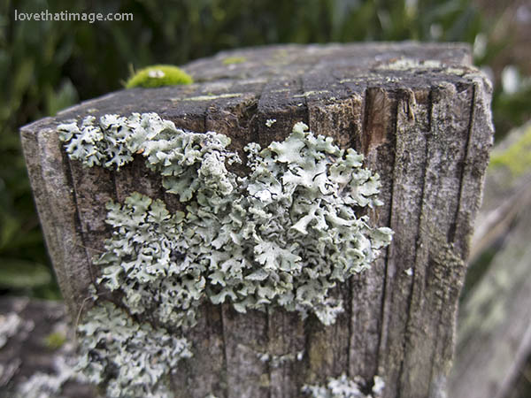 Pale turquoise or silver-green lichen grows on a fencepost in winter