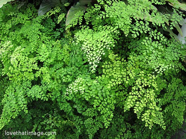 Maidenhair ferns massed in a display at Seattle's Volunteer Park Conservatory