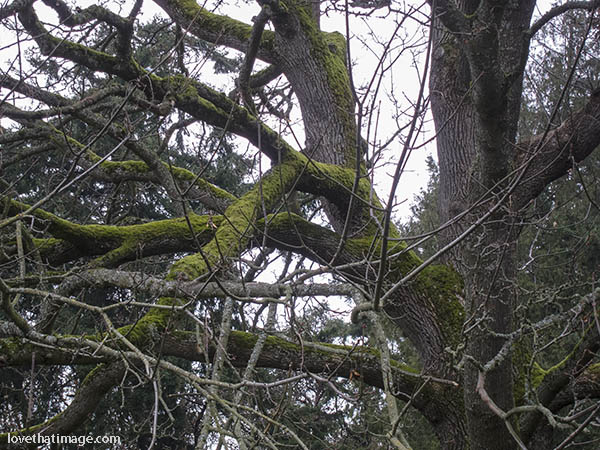 Moss covered branches on a very big tree