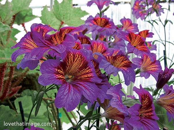 Salpiglossis or Painted Tongue flowers bloom in flames of purple and orange