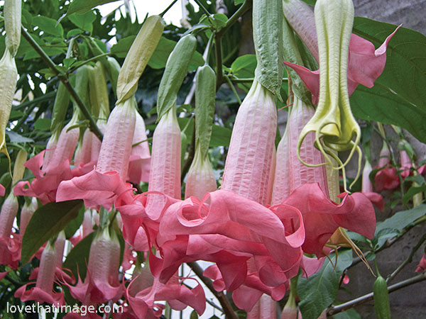 Ecuador Pink brugmansia at the Volunteer Park Conservatory in Seattle, available as a print