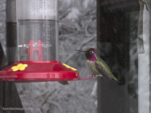 Anna's hummingbird at winter feeder in Seattle, WA