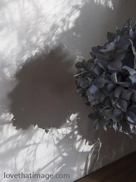 Dried blue hydrangeas cast shadows in winter sunlight