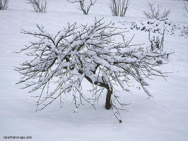 Laceleaf Japanese maple with snow-covered branches