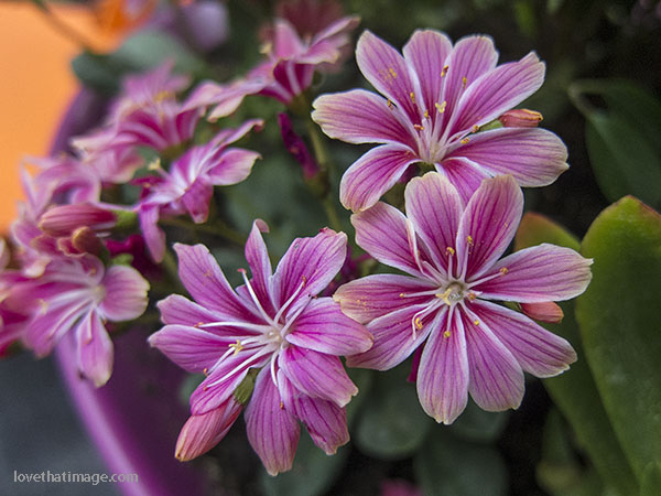 Tiny lewisia flowers are good in a rock garden