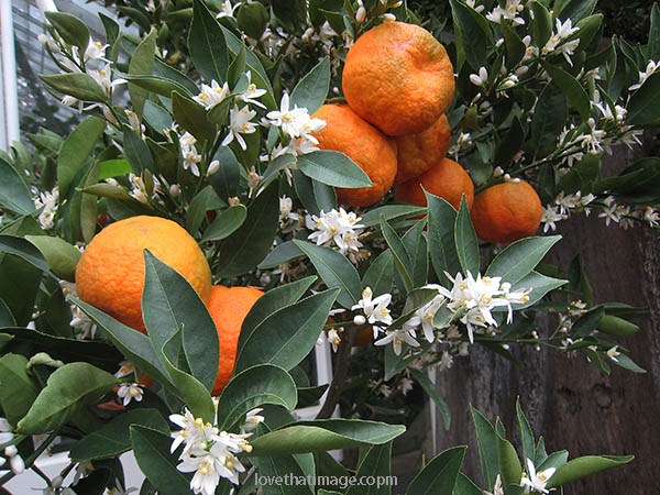 Orange Fruit Flower
