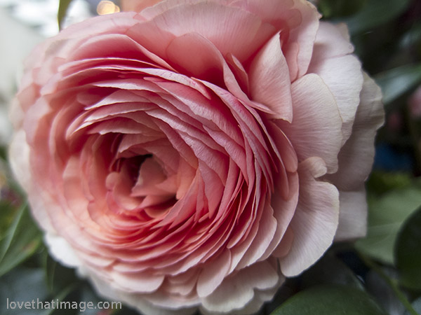 Many-petaled pink ranunculus blooms at the NW Flower & Garden Show