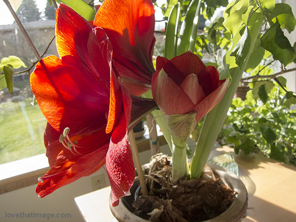 Second flower after first bloom on red amaryllis bulb