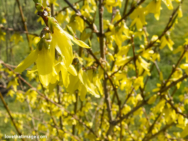 Bright yellow forsythia blooms in early spring