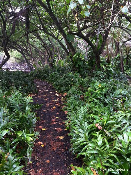 Rainy Hawaiian path through a mass of split leaf philodendrons