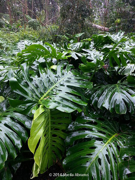 Split leaf philodendrons in the wild, with rain-shined leaves