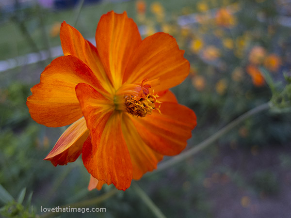 Bright orange cosmos flowers bloom into the late summer