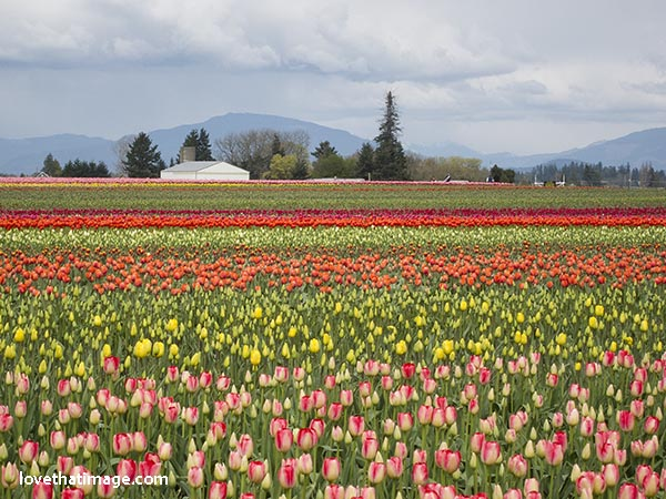 A rainbow of tulips stripe a field in the scenic Skagit Valley in April