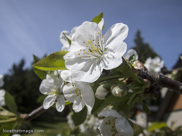 Fruiting cherry tree blooms in backyard orchard
