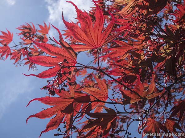 Deep red Japanese maple leaves against a blue springtime sky